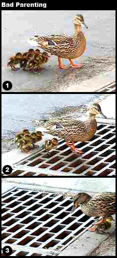 picture of duck losing its children