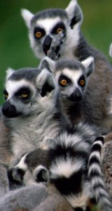 troop of lemurs